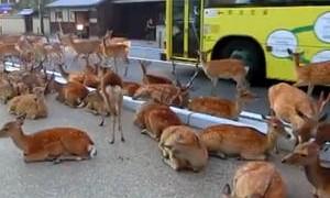 I cervi urbani di Nara in Giappone