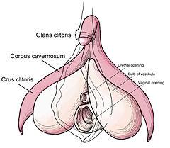 clitoride anatomia